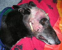 Regulate Greyhound Racing in Ireland and Enforce the Welfare Act 2011