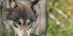 Stop the Wolf Slaughter in British Columbia Canada