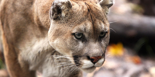 Save the Last of Florida's Panthers from Big Oil