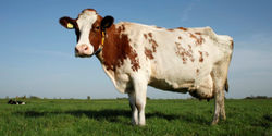 EU: Stop the Suffering of Dairy Cows