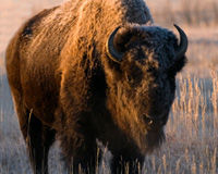 Stop the Yellowstone Bison Slaughter