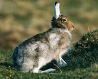 List Mountain Hare as Endangered