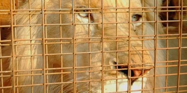 Mufasa the white lion in a cage