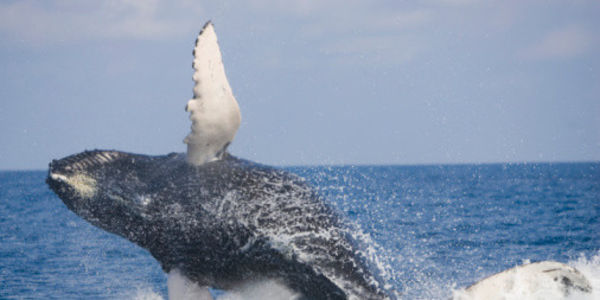 Don't Drop Humpback Whale Protections, Canada!