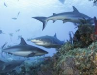 Thank Indonesia for Shark and Manta Ray Sanctuary
