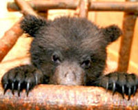 Don't Let Another Bear Cub Die in Russia's Hibernating Bear Hunt