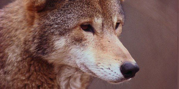 Protect Red Wolves From Indiscriminate Hunting