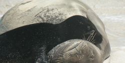 Encourage NOAA not to cut protections for critically endangered Hawaiian monk seal!