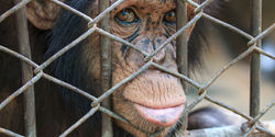 Free Tortured Chimps to Sanctuaries!