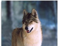 Wolf 527 was beloved by wolf-watchers and wildlife biologists who chronicled her courageous life. Sadly, she was also one of the first wolves killed in October -- during Montana's first wolf hunt in modern times.