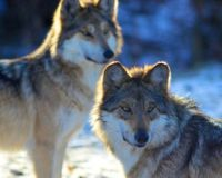 Tell DNR Commissioner and Min. Gov. Mark Dayton : To Stop The Nov 3rd Wolf Hunt!