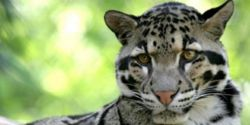 Protect the Clouded Leopard