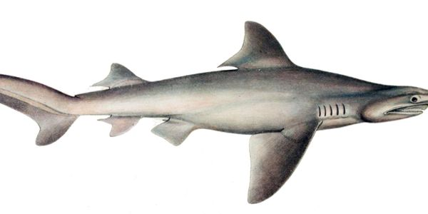 Protect the Daggernose Shark from extinction