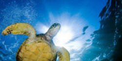 Stop Experiments on Endangered Sea Turtles
