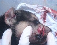 2 chiots mutilés / 2 cachorros mutilados : Asesino Knino