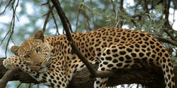 SAVE THE LEOPARD IN WILD