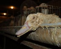Ask London Restaurants to STOP Serving Foie Gras