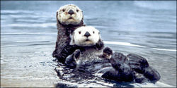 Stop the Alaskan Sea Otter Slaughter