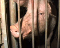Help improve conditions for farm animals in Canada
