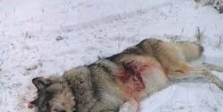 Wolves Being Shot Just Outside Yellowstone Park- Need a Buffer Zone & No Kill Collared Wolves Laws