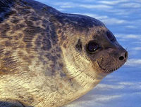 Save Finland's Ringed Seal from Extinction