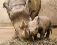 Save the Black Rhinos!