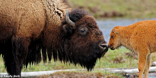 Stop the Needless Slaughter of Hundreds of Bison!