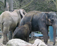 Help Elephants in Seattle's Woodland Park Zoo