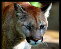 Protect Endangered Florida Panther