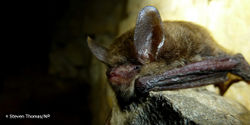Tell FWS to List the Northern Long-Eared Bat As Endangered Now!
