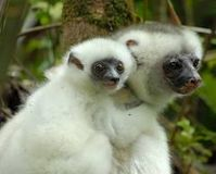 Save the Silky Sifaka