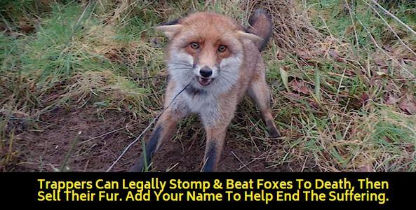 fox caught on trap