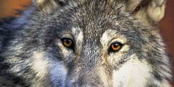 One united voice, for the wolves who have been betrayed
