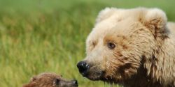 Keep Grizzly Bears Listed as an Endangered Species