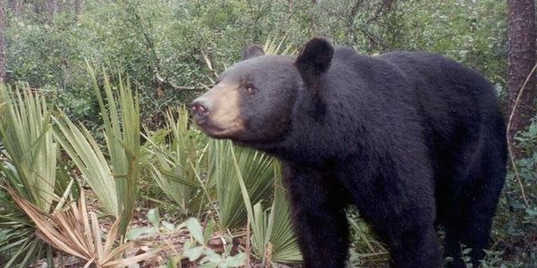 Tell Florida Fish and Wildlife Conservation Commission NO to Black Bear Trophy Hunt!