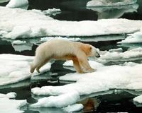 Tell Iceland to Stop Killing Polar Bears