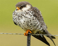 Stop The Slaughter Of Amur Falcons