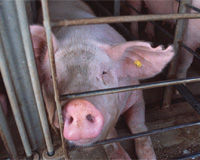 Take Urgent Action To Help Mother Pigs!