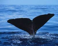 Tell Navy- Stop Assault Whales with Sonar and Explosives