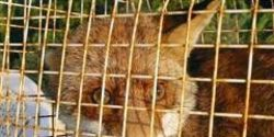 STOP THE KILLING OF FOXES IN ITALY