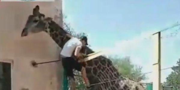 Drunk guy riding giraffe