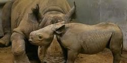 Save the Black Rhino!