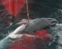 Keep Whaling Moratorium in Iceland