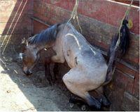 Caballo moribundo obligado a permanecer de pie para que su carne tenga mejor precio.
