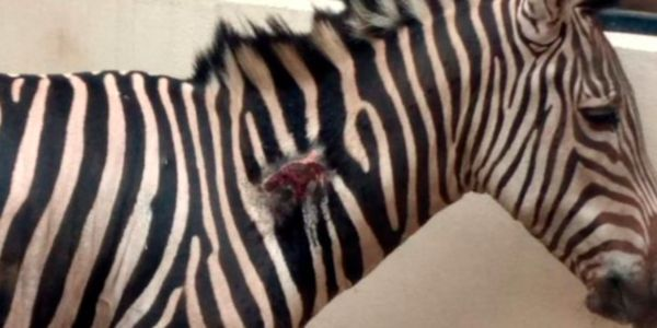 Zebra with wounds on his neck