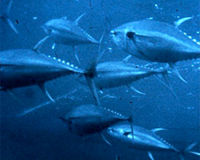 Stop the Decimation of Atlantic Bluefin Tuna