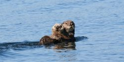 Stop the Alaskan Sea Otter Bounty!