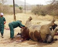 Stop Hunting Endangered White Rhino