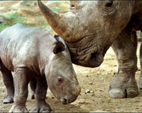 Keep the Ban on Rhino Horns