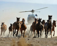 Speak Up Against Inhumane Wild Horse Roundups!